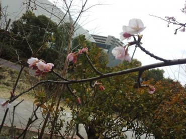 白山堀公園近くの安行寒桜