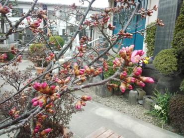 水屋前のおかめ桜