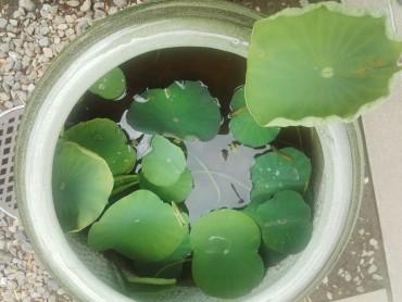 本日の蓮の鉢です 数日前までは浮き葉ばかりでした しかし立ち葉が目立つようになりました 散歩かたがた見に来て下さい
