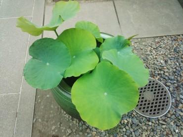 最も立ち葉の多い蓮の鉢です