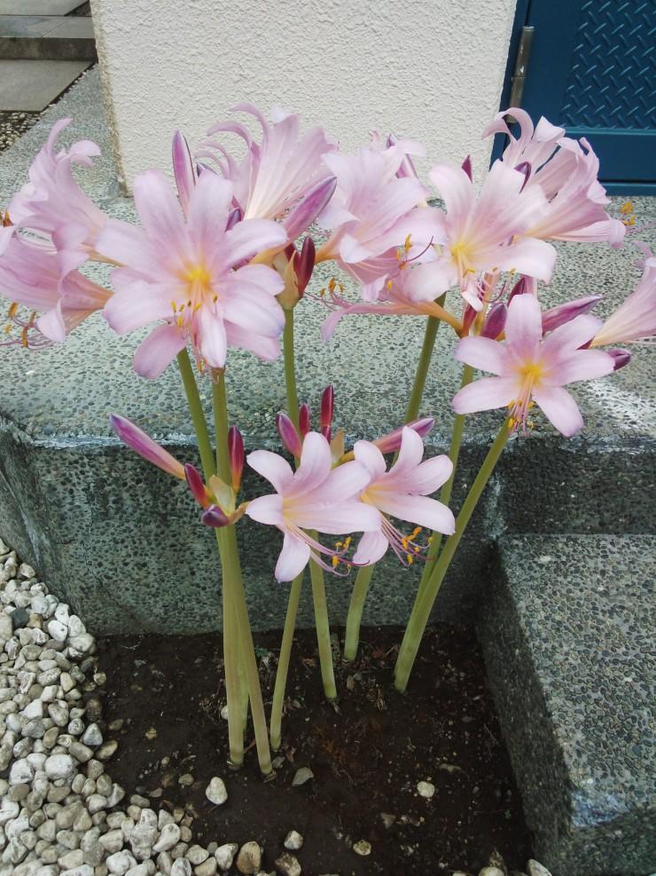 最もかたまって咲いているリコリス