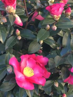 駐車場には5本の山茶花が咲いています