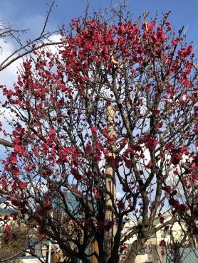 3月15日の山門前の駐車場の梅の花です