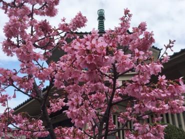 3月6日のおかめ桜です 満開です