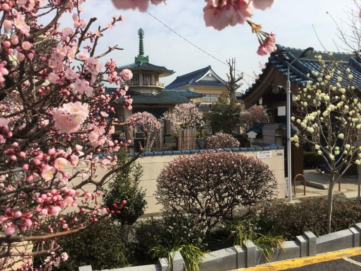 左から、アンズ、安行桜、ゆすら梅、白木蓮です