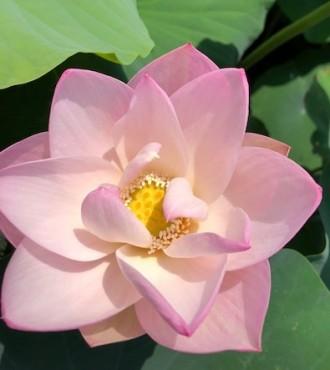 15日の蓮の花