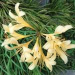黄色のリコリス(彼岸花の仲間)が咲いています