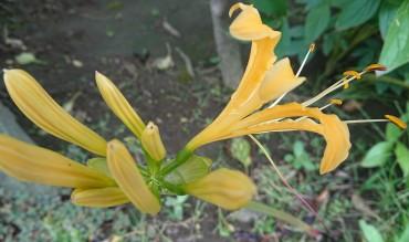 黄色のリコリスも咲いています