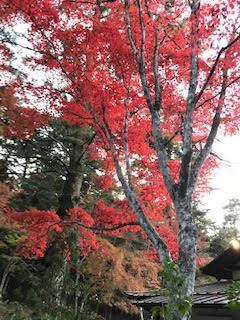11月19日安芸の宮島の紅葉(同僚の老化の研究者から頂きました)