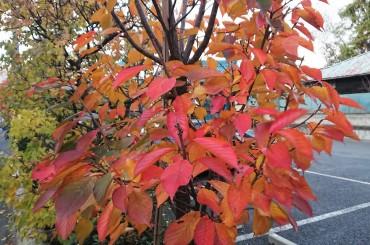駐車場の八重桜の紅葉です