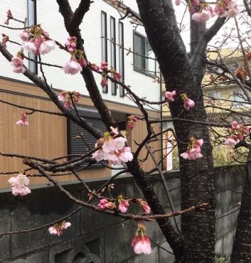 安行桜の開花