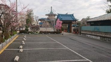 今朝の福性寺 山門近くにおかめ桜左に安行寒桜