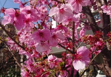 福性寺で最もピンクの濃い桜です 駐車場の花壇にあります