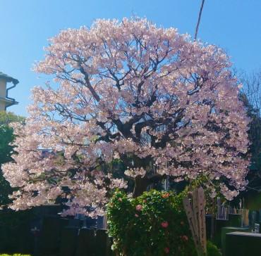 福性寺にはソメイヨシノは1本だけです 数日前から満開です