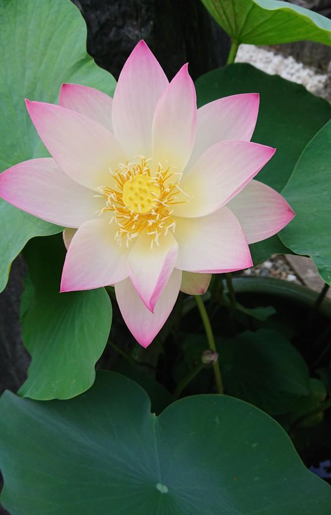 昨日の蓮の花 完全に開きました 明日・明後日には散ります