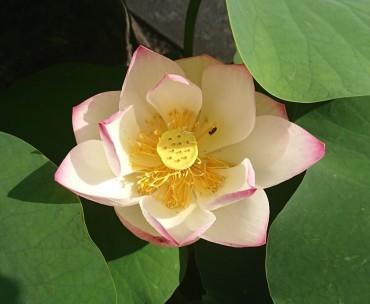 3日目の花です 2日目の花と比較すると若々しさが欠けてきているように見えます