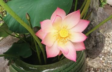 今朝の蓮の花