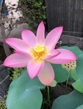 令和元年2019年最後の蓮の花です お檀家のお嬢様から頂きました 9月5日撮影