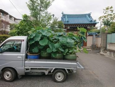 蓮の葉満載の軽トラックです このまま公道を走ってはいないと思います
