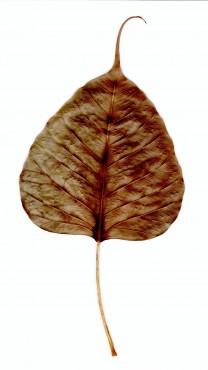 菩提樹の葉