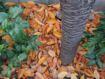 今日の桜の樹の落ち葉です。今年は桜の葉が赤くならずに黄色でした。腐葉土になるように、樹の下にそのままにします。桜の樹の栄養のためです。それでも、お掃除担当者が掃いてしまいます。お寺の美観が大切と考えているようです。有難いお掃除の担当の皆様です。