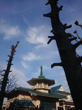 枯れたヒマラヤ杉 枝をおろして明日伐採します