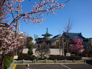 昨日の福性寺 安行桜はとおかめ桜はほぼ満開です