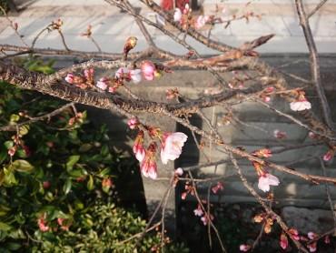 昨日から安行桜が咲きだしました 通行の皆様からアレ!なんで?と質問されます
