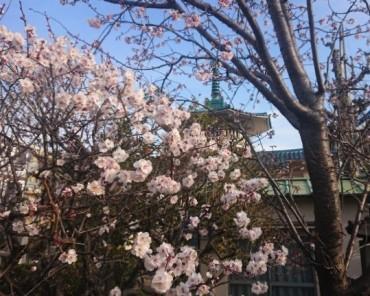 境内では梅は満開 安行寒緋桜も咲き始めています