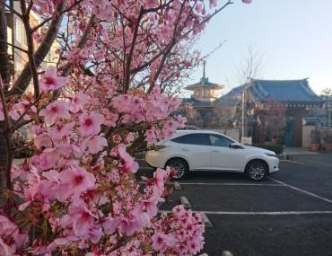 彼岸の入りの日6時半ごろです ほとんどのサクラは終わってきています 写真のサクラ(名前不明)はピンクが濃く今日満開です 江戸彼岸桜と染井吉野は咲き始めました ユスラ梅も満開です