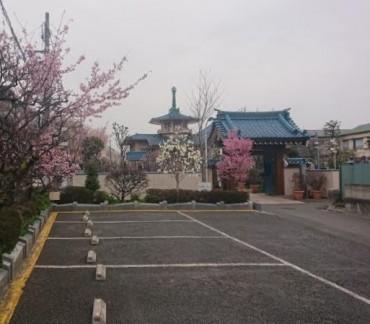 今朝の福性寺 白木蓮 オカメ桜 安行桜が満開です