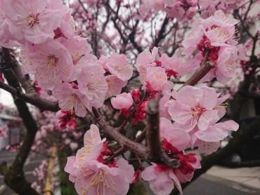 数日前のアンズの樹です 毎年4月13日の三郷市延命院の植木市で購入し私が植えたものです 最近は桜の樹が増えました 植木屋さん(マコト造園)が植えたものです