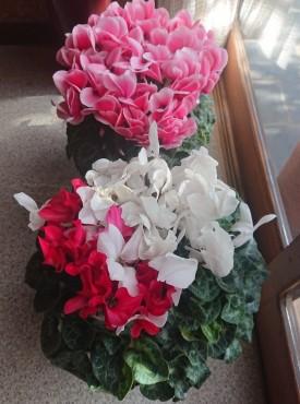 お檀家ら頂いたシクラメン 赤半分白半分の花が咲いています 球根はどうなっているのでしょうか?