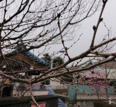 本日のエドヒガン(江戸彼岸桜) 墓域に2本あります 山門左の区道沿いと最も隅田川の近くです ホームページのカバーページでは墓域の角にピンクに見えています 今日の写真では枯れ木のように見えますがツボミは膨らんでうっすらピンクに見えてきています