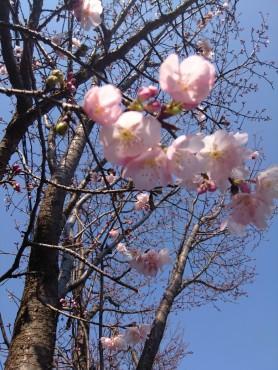 2月21日の安行寒緋桜