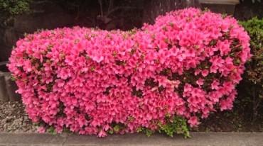 花は子孫を残すための大事な器官の一つです 種を作り仲間を増やすために咲くと言われていますがサツキも小さな実がなる枝があります