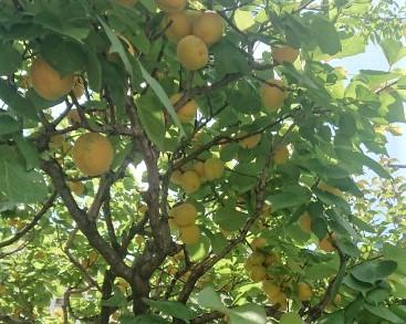 今日6月1日のアンズの樹 いろいろな種類のアンズの樹があります