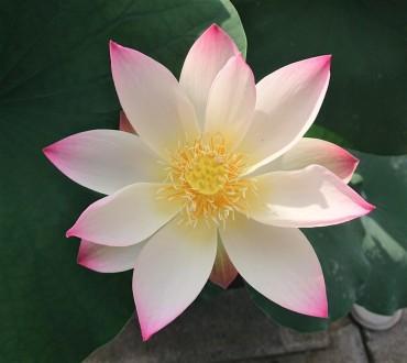 本日早朝の蓮の華 明日も咲いているとよいのですが