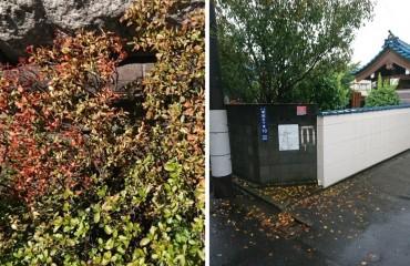 左 お墓の石(上)の近くの木からツツジが枯れだします 右 エドヒガン桜です 真夏に落葉します