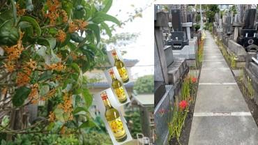 境内の金木犀と桂花陳酒の香り 右は東西参道です 水場の新設のために10日前に掘削したので彼岸花は少ないです それでも咲いています